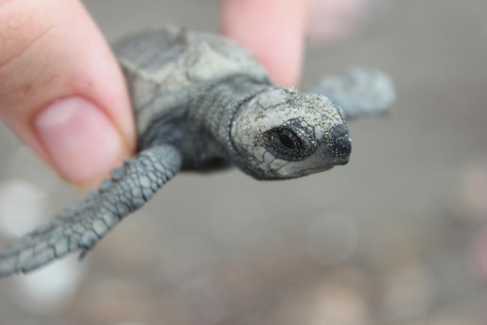 sea turtle endangered species
