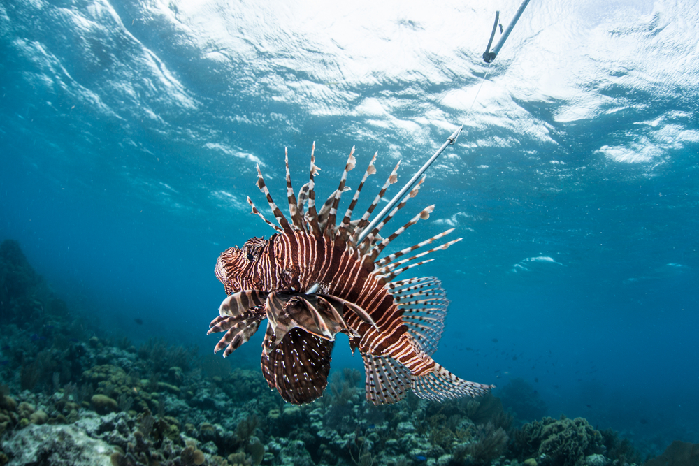 lionfish in water