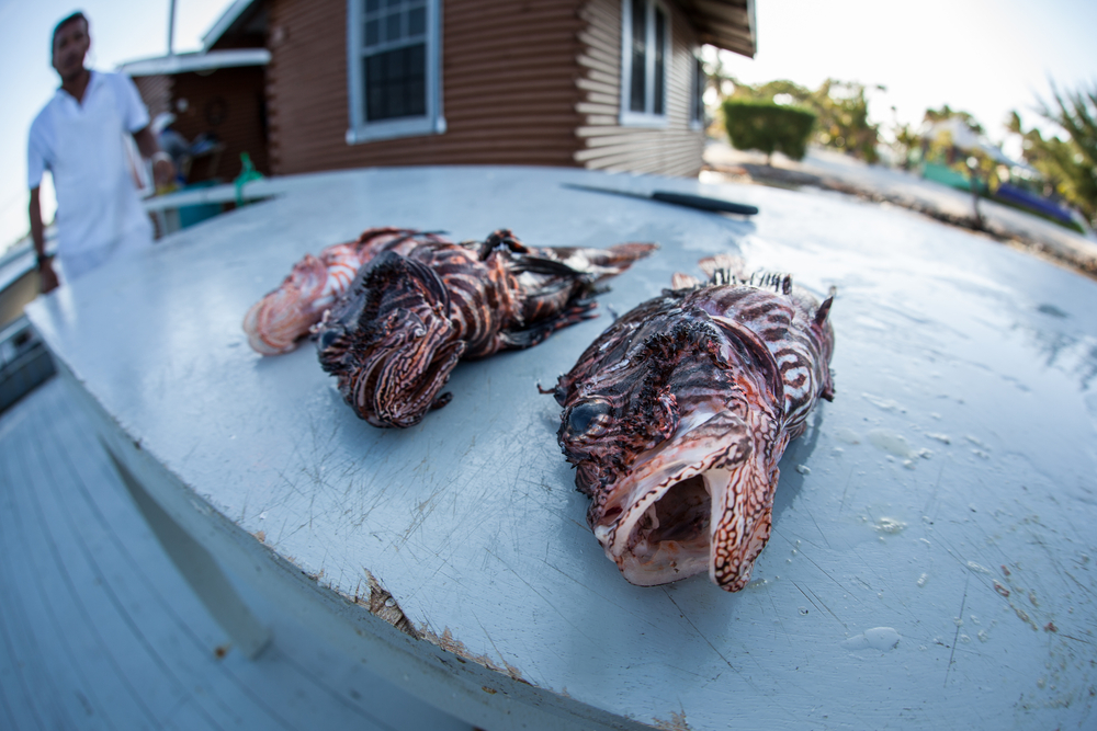 Lionfish Being Prepped for Cooking