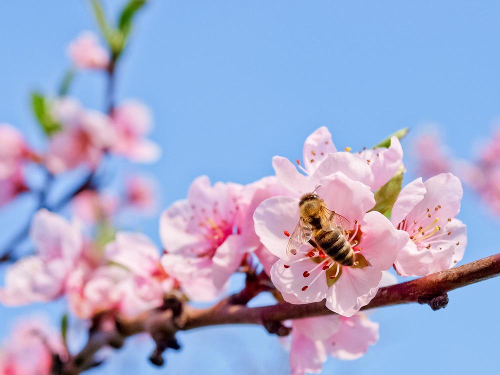 Honey Bee on Blossoming Flower