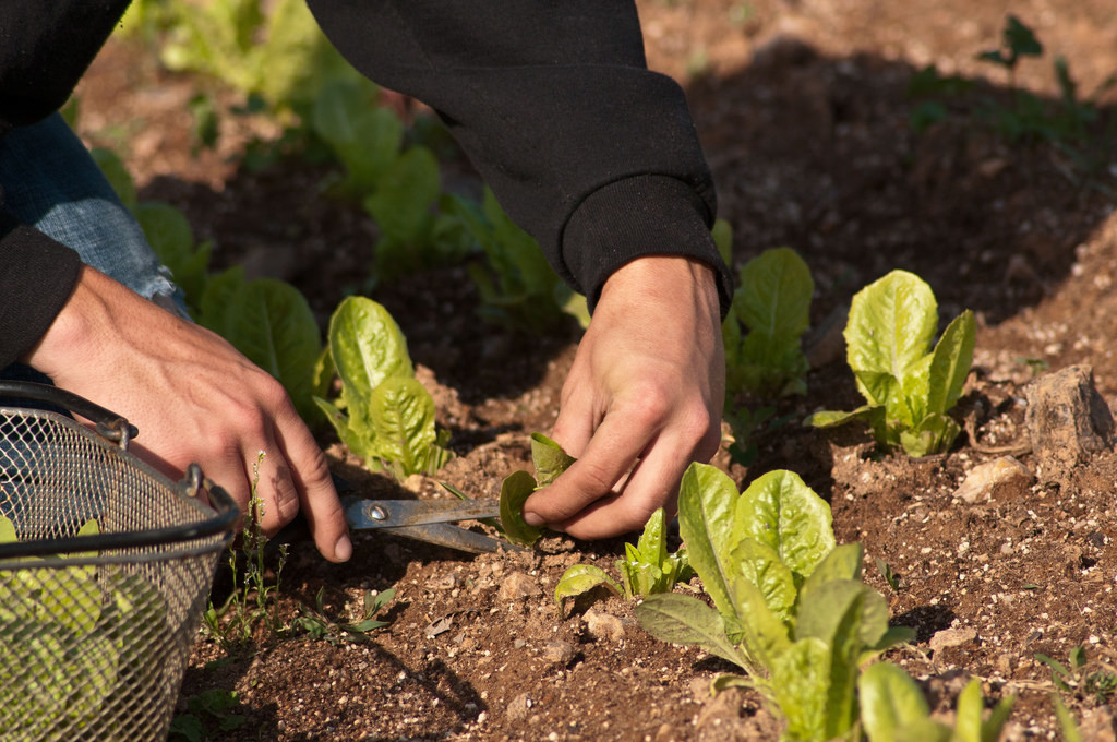 Andrew Myers Harvesting Baby Lettuce Leaves by Hand