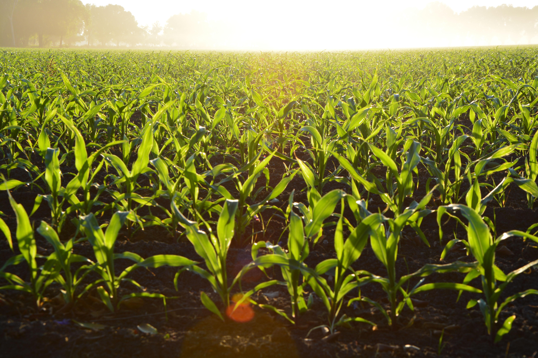 corn field GMOs