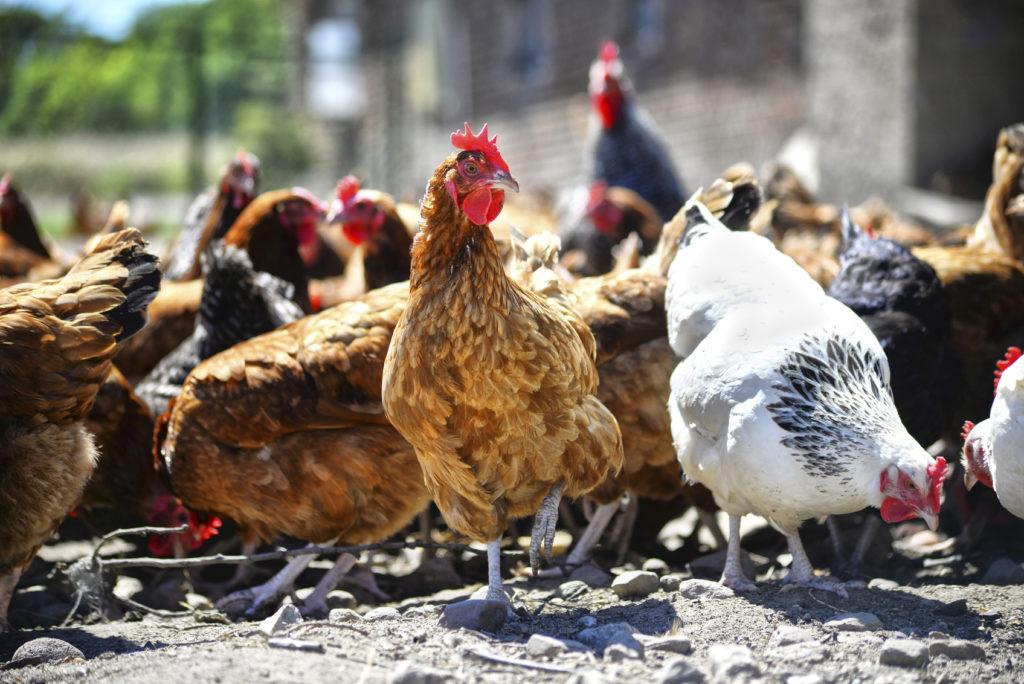 chickens organic