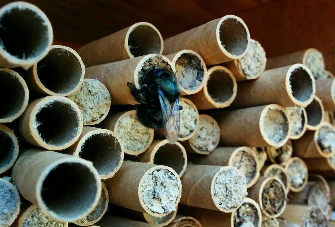 move over honey bee here comes the mason bee civil eats