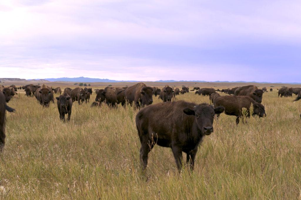grassfed bison wild idea