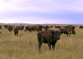grassfed bison wild idea