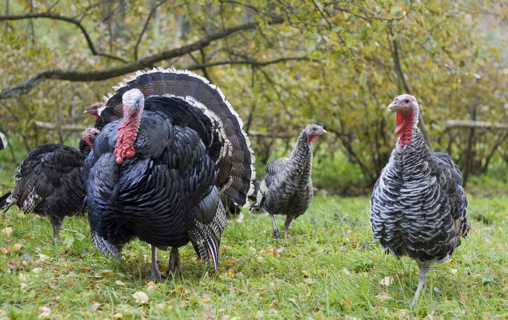 What you need to know about label claims, transparency, and animal welfare before buying your Thanksgiving Day turkey.