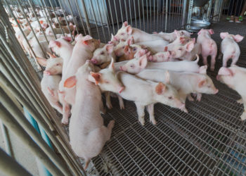 piglets antibiotics
