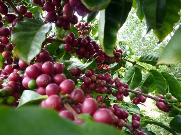 california coffee beans
