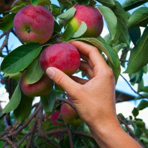 picking apples no pesticides
