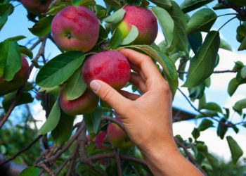 picking apples no pesticides
