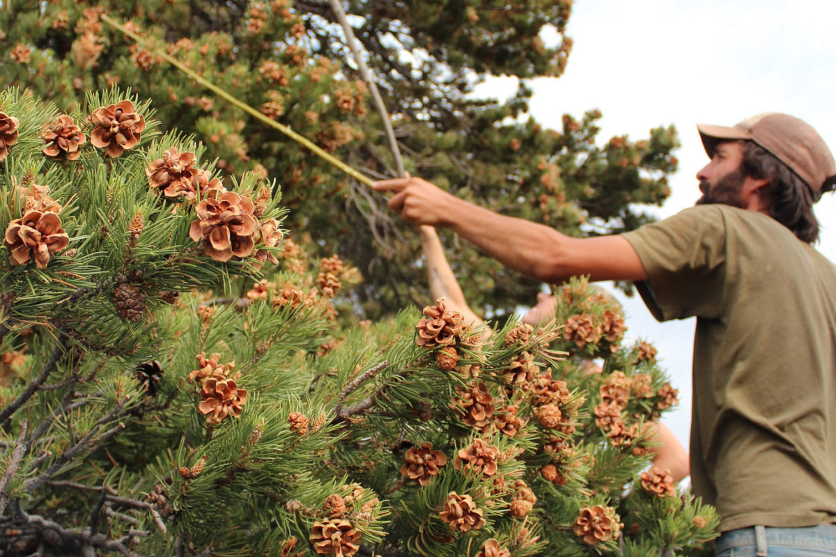 is the u s pine nut industry on the brink of extinction civil eats