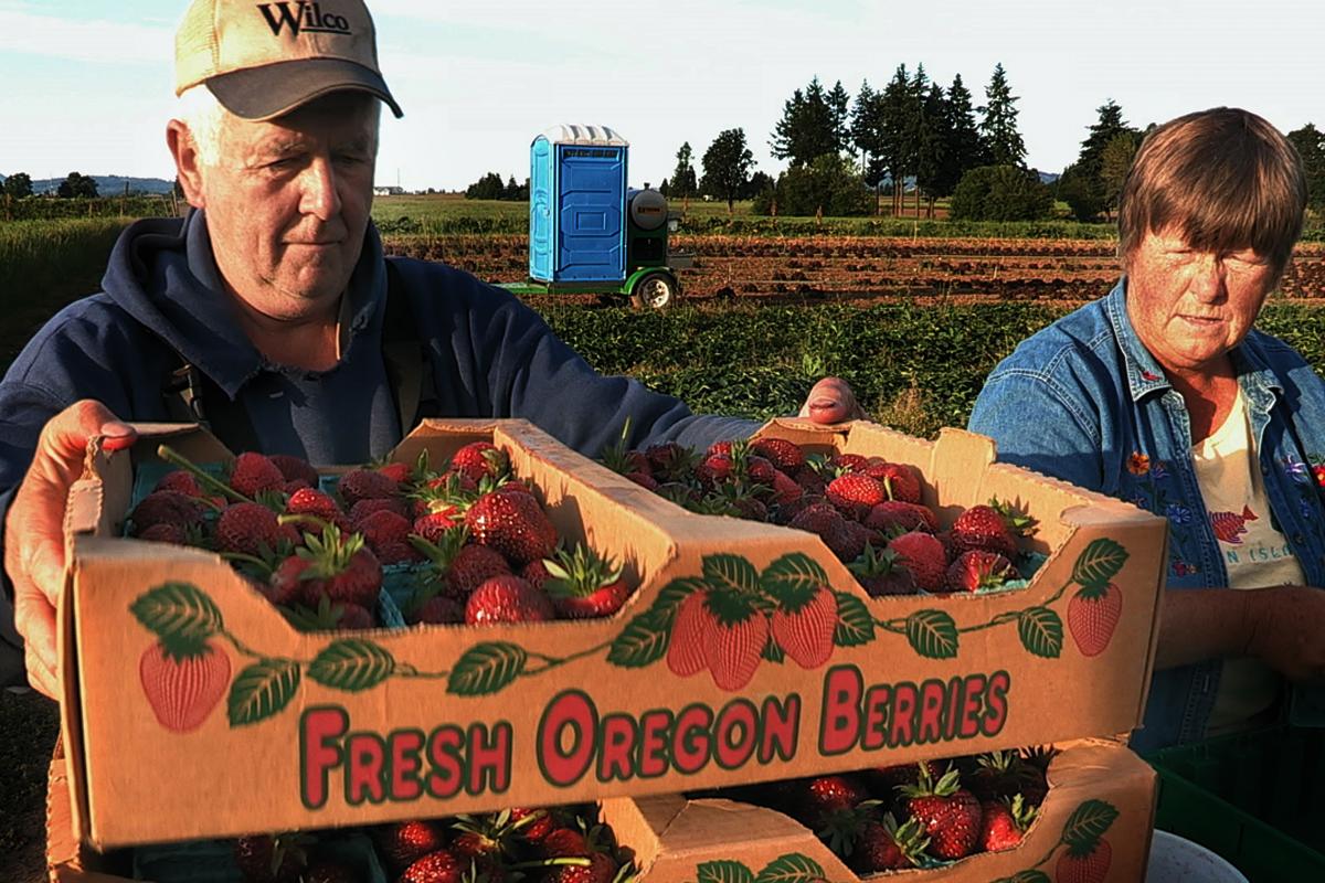 Vicki & Charlie Hertel picking Strawberries at Sun Gold Farm