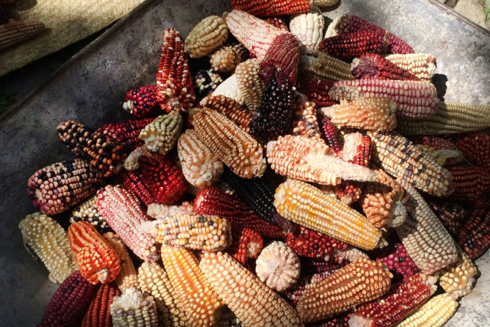 Examples of Ixtenco, Tlaxcala's extensive landrace corn varietals at the home of Cornelio Hernández Rojas. (Photo credit: Venetia Thompson)