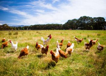 happy hens pecking in a farm field