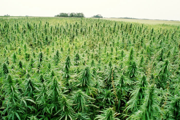 An industrial hemp field in Manitoba, Canada. (Image courtesy of Vote Hemp.)