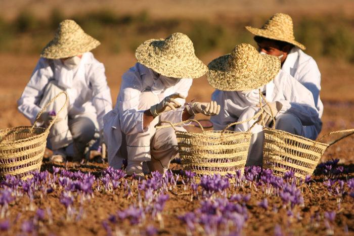 Farmworkers collecting saffron in Razavi Khorasan province, Iran.