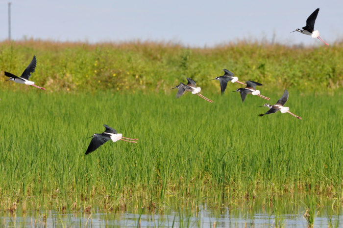 Texas farmer Taylor Wilcox received USDA funding to flood his fallow rice fields, creating habitat for black-necked stilts and other birds. (Photo credit: USDA)