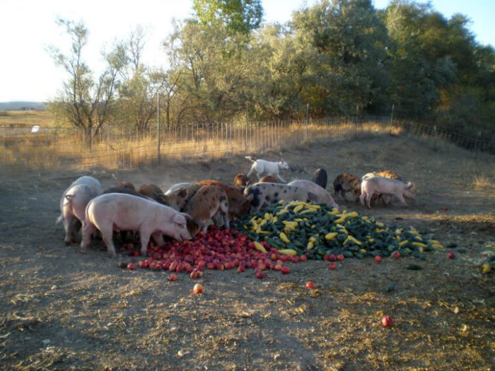 Rosmann's hogs eating. (Photo courtesy of the Iowa Food Systems Council)