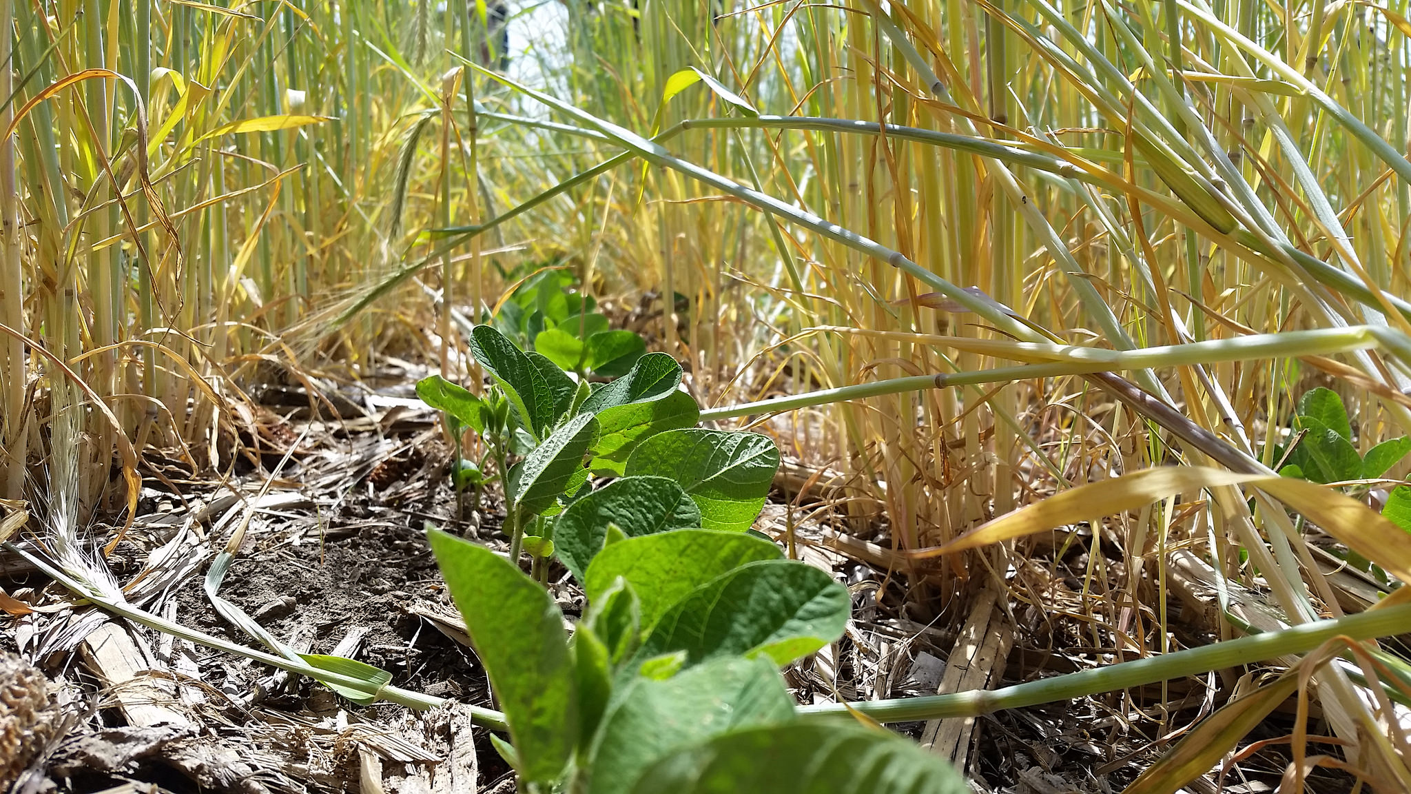 soybeans in rye cover crop.