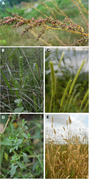 Here you can see some of the lost crops of North America: a) goosefoot (Chenopodium berlandieri); b) sumpweed/mars helder (Iva annua); c) little barley (Hordeum pusillum); d) erect knotweed (Polygonum erectum); e) maygrass (Phalaris caroliniana)
