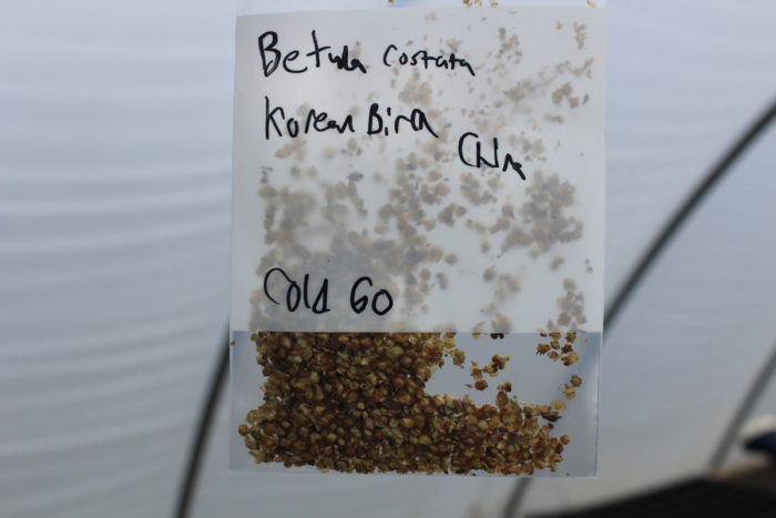 Korean birch seeds. (Photo courtesy of Lela Nargi)