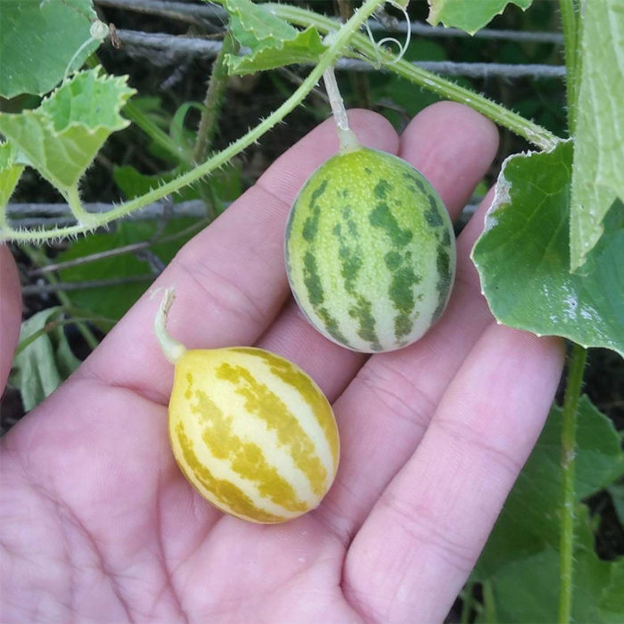 Mouse Melons (Cucumis melo. subsp. agrestis) originally from the Maldives in the Indian Ocean, grown by EFN in 2015.