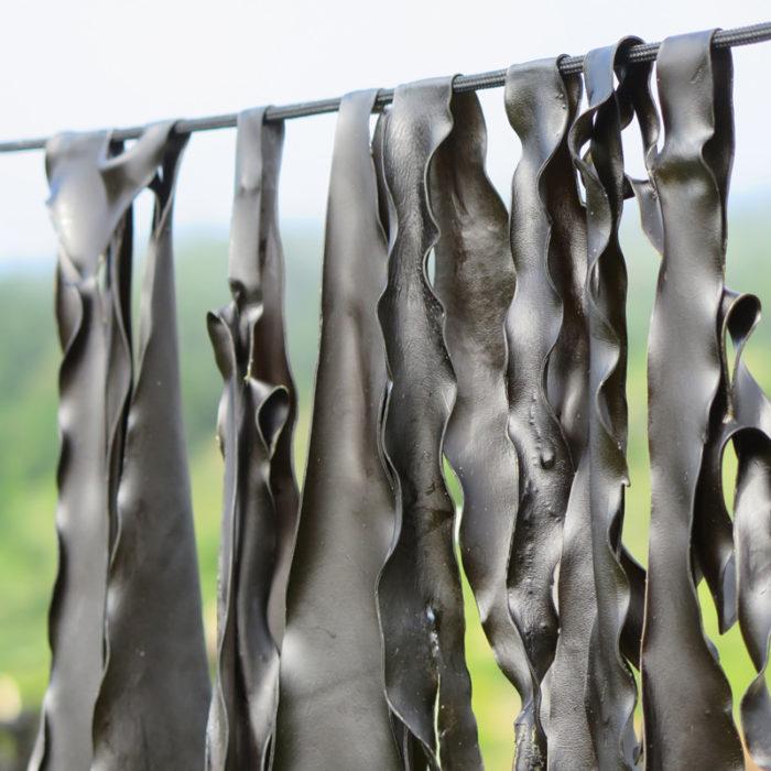 California Kombu drying. (Photo courtesy Salt Point Seaweed)
