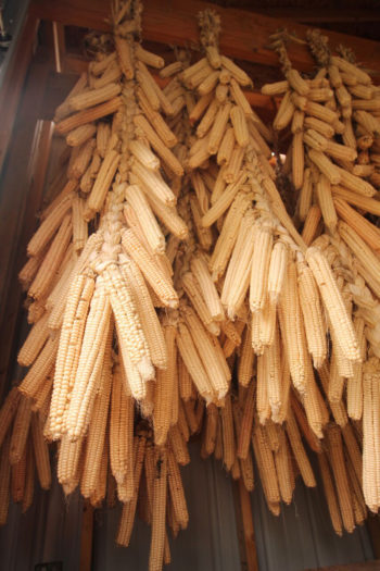 Corn drying (photo credit: Friends of Ganondagan)