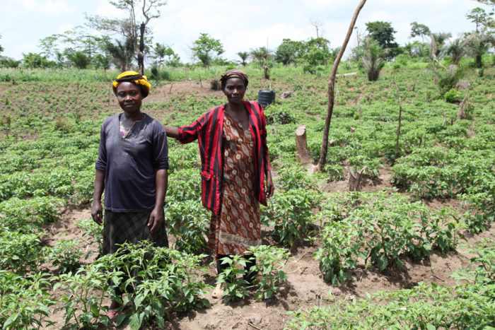 Members of Abrono Organic Farming Project (ABOFAP) in their organic chilli farm. Near Techiman, Ghana (Photo CC-licensed by Global Justice Now)