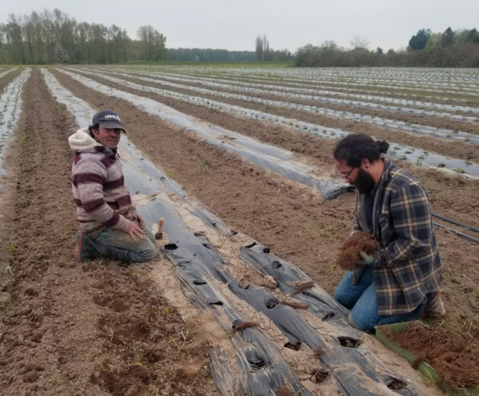 Francisco Farias (left) and Juan Farias planting strawberries at Viva Farms. (Photo credit: Bianca Valles)