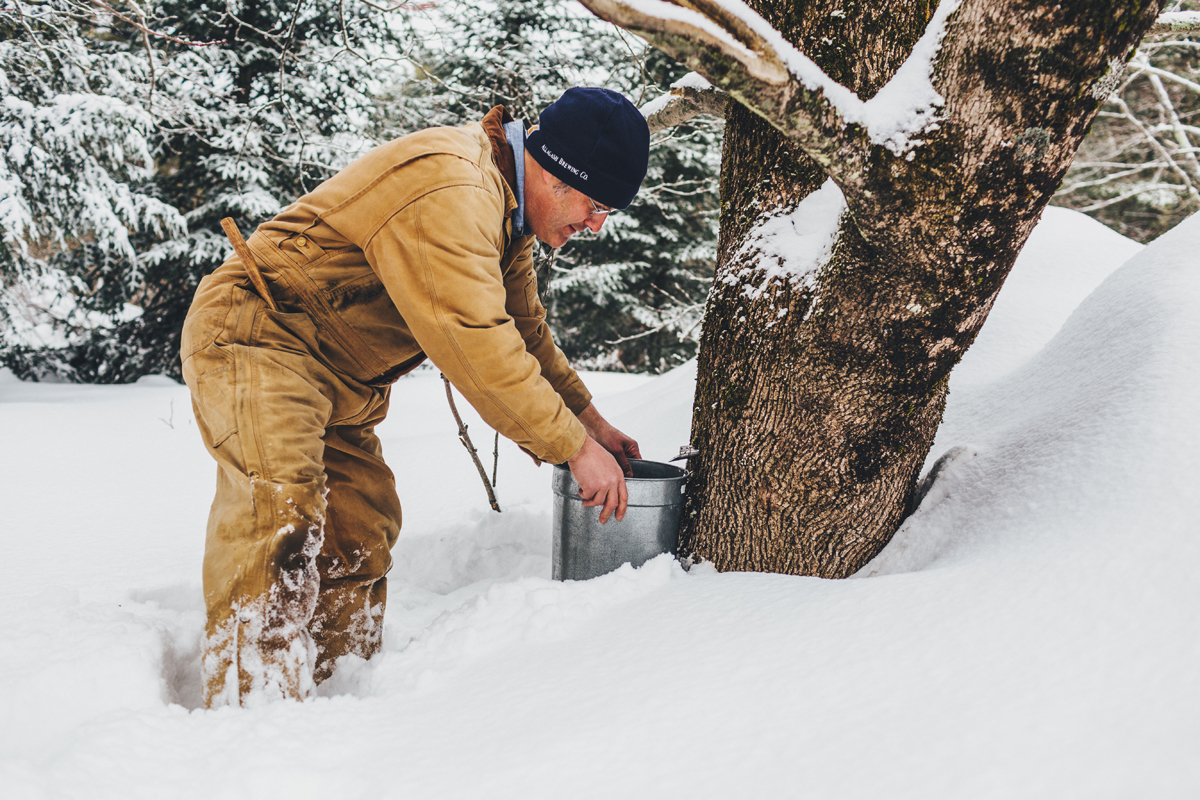 "Tapping a sugar maple. (Photo CC-licensed by < a href=""https://www.flickr.com/photos/allagashbrewing/16716238601"">Allagash Brewing Co.)"