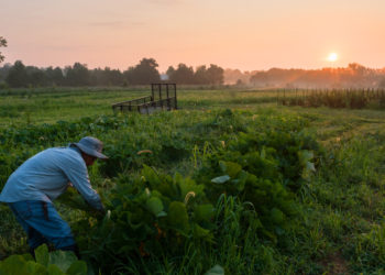 Miguel Sacedo, 46, of Trappe, Md., harvests squash on Cottingham Farm in Easton, Md., at sunrise on July 29, 2015. The philosophical driving force behind Cottingham is to produce sustainably grown, locally distributed, and certified organic food. (Photo by Keith Rutowski/Chesapeake Bay Program)
