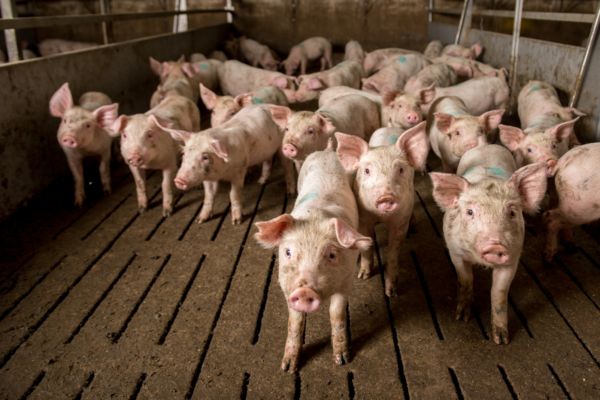 Piglets on a slatted floor like those used in Iowa CAFOs. (Photo credit: agnormark)
