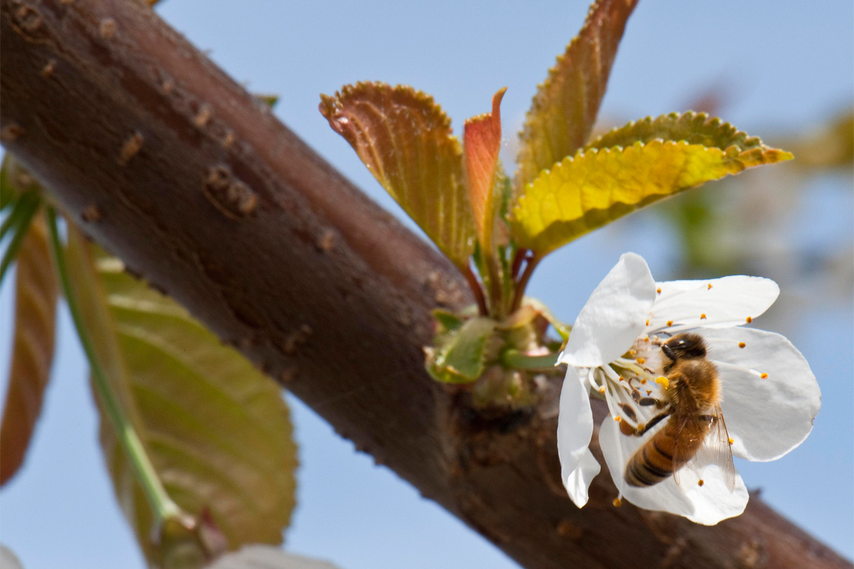 Honeybee pollinating a cherry orchard. (Photo CC-licensed by the Oregon Department of Agriculture)