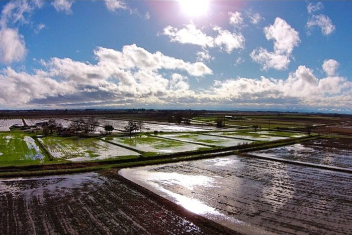Massa Organics' rice fields after a winter rain.