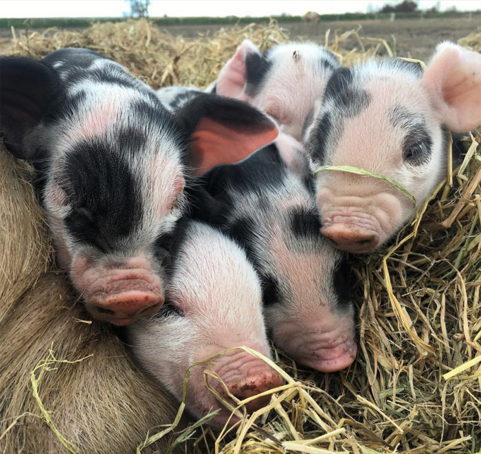 Some of Massa Organics' piglets.
