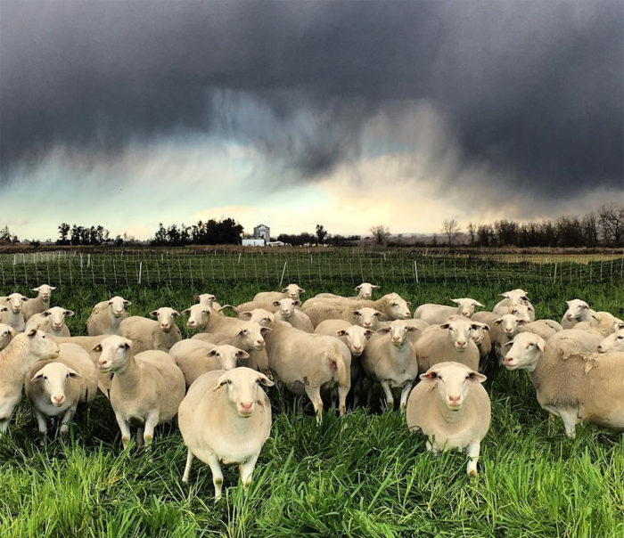 Sheep before an approaching storm.