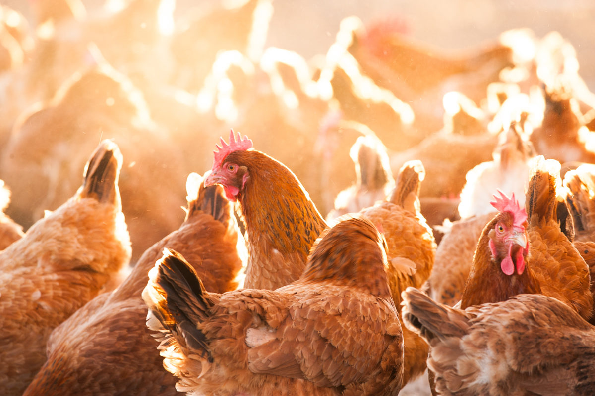 who gets to define heritage breed chickens civil eats