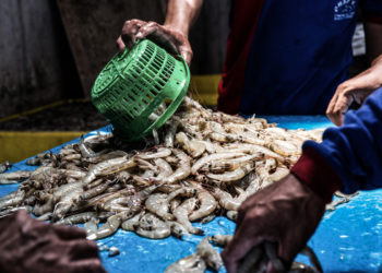 Seafood processing in Indonesia. (Photo credit: Adrian Mulya/The Sustainable Seafood Alliance Indonesia)