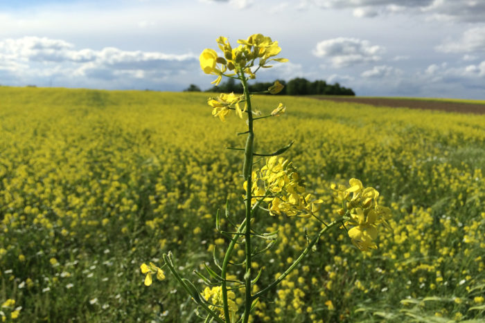 Yellow mustard fields are an important part of the rotational cropping system on Martens farm. The use of cover crops, biofumigant crops (such as the mustard), and double-cropping strategies are some of the ways in which organic farmers combat weeds and pests, build soil health, and control erosion.