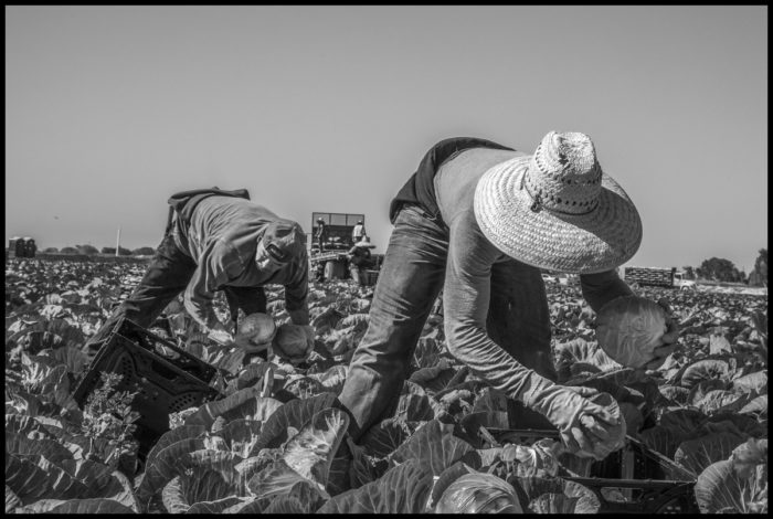 Workers packing cabbage heads coordinate with each other to work quickly.