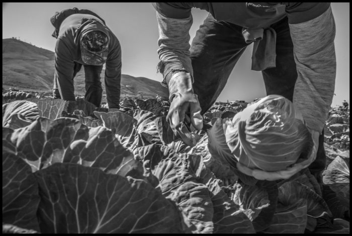 Refugio Lopez cuts cabbages.
