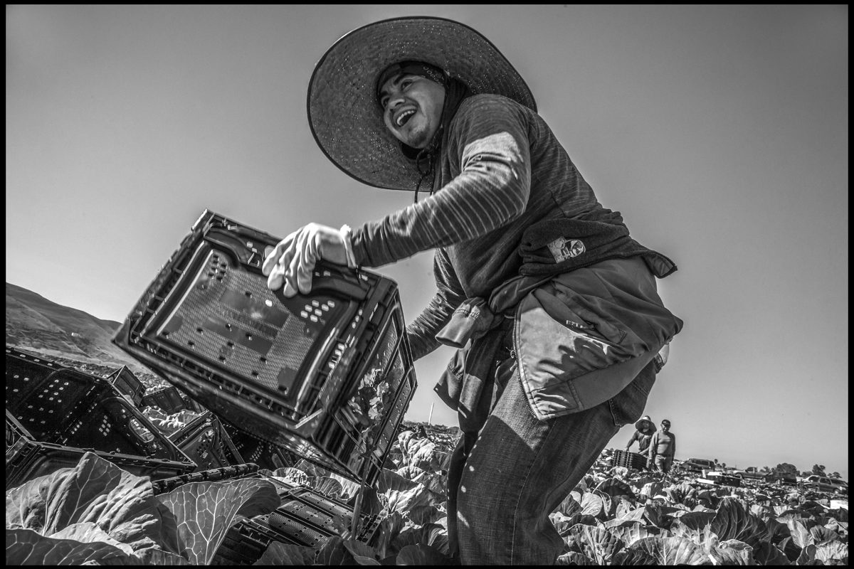 Photo Essay The Humble Cabbage Connects History And Cultures  Photographer David Bacon Shares Stunning Images Of Farmworkers Harvesting  Cabbage The Oldfashioned Way And Writes That The Ubiquitous If  Undervalued