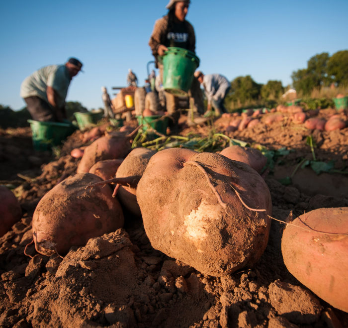 Migrant workers harvesting sweet potatoes in Mechanicsville, VA, on Sep. 20, 2013. (Photo credit: USDA)