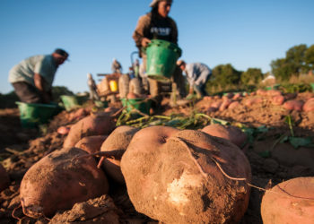 Migrant workers harvesting sweet potatoes in Mechanicsville, VA. (Photo credit: USDA)