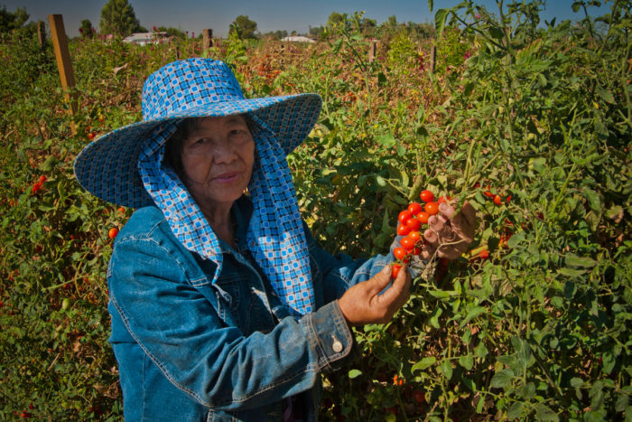 May Young Vu a Hmong farmer harvesting cherry tomatoes on her farm May's Flower's in Sanger, California. (Photo credit: USDA)