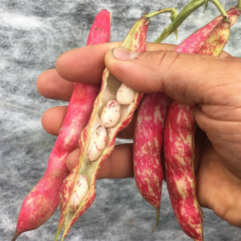 Borlotto Lingua di Fuoco (Tongue of Fire Beans). (Photo courtesy of Truelove Seeds)