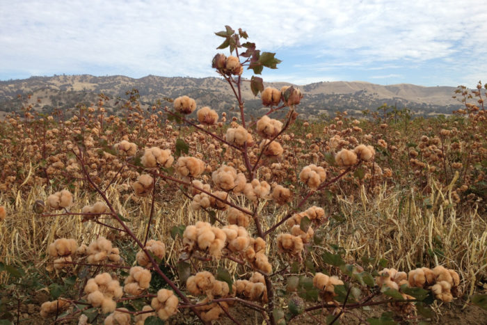 Brown cotton growing at Viriditas Farm. (Photo © Sally Fox)
