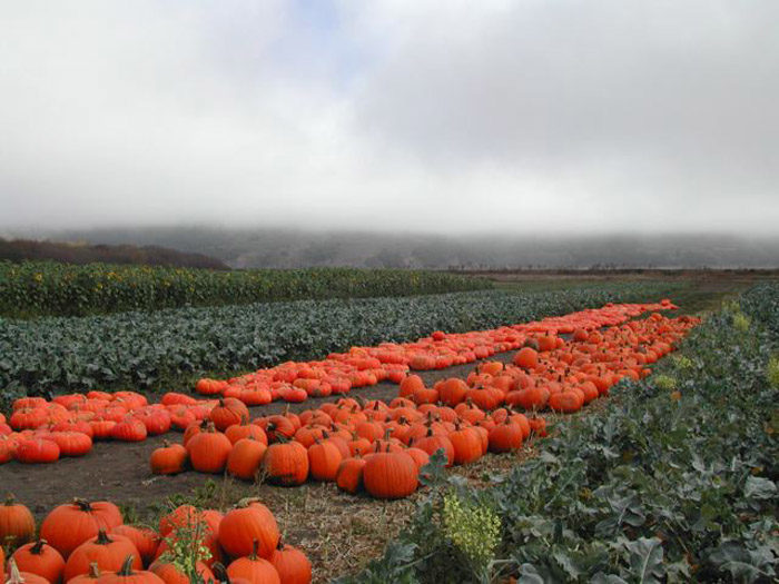 Pumpkin Harvest in Bolinas (Photo courtesy of Star Route Farms)